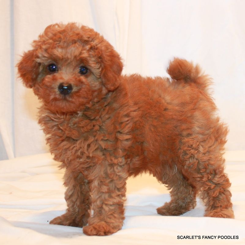 7 Pics Toy Poodle Full Grown And Description - Alqu Blog